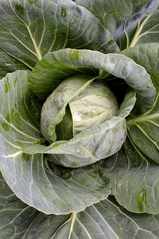 Cabbage-preparing-your-garden-for-planting