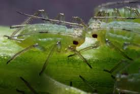 Aphids-pest-control-methods