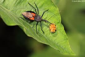 Asassin bug-garden-pest-and-pest-control