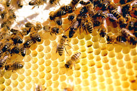 Bees on honeycomb-how-to-attract-pollinators-to-your-garden