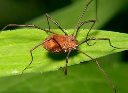 Big-eyed bug-garden-pest-and-pest-control