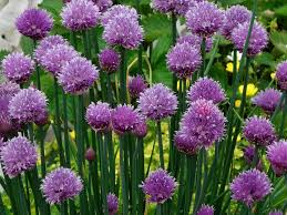 Chives herbs-plants-that-repels-insects