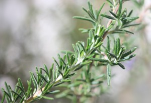 Rosemary herb-health-benefits-of-herbs