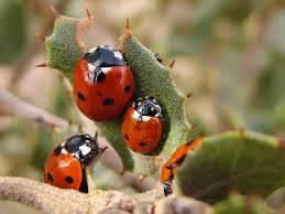 Ladybugs-garden-pest-and-pest-control