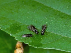 Garden-pest-and-pest-control-birch- leaf- miners