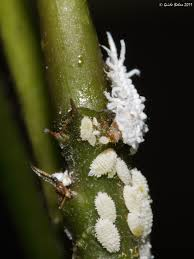how-to-attract-beneficial-insects-to-control-garden-pest-mealybug bad bugs