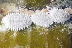 Mealybugs-garden-pest-and-pest-control