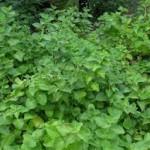 Oregano herb-natural-remedies-for-tinnitus