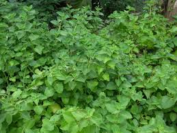Oregano herb-garden-herbs-that-contains-healing-wonders