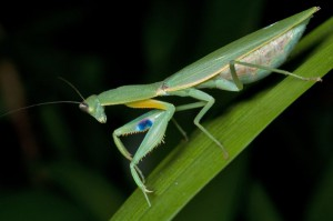 Praying mantis-garden-pest-and-pest-control