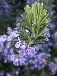 Rosemary-plants-that-repels-insects