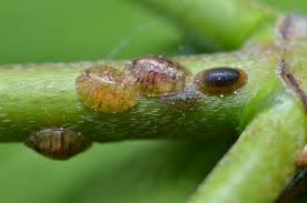 Garden Pests and Pests Control-scale insects