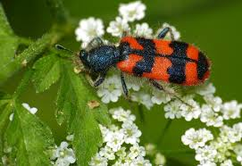 Soldier beetles-garden-pest-and-pest-control