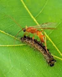 how-to-attract-beneficial-insects-to-control-garden-pest-parasitic wasp feeding on caterpillar