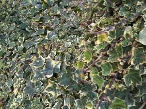 Algeria ivy-interior plantscape