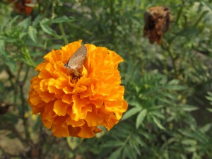 Creating a butterfly garden-Marigolds
