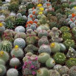 Cactus-can-plants-survive-without-water