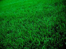 Centipedegrass-grasses