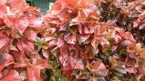 Copper leaf garden plant-perennials