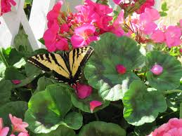 creating a butterfly garden-Butterfly on ping and white flowers