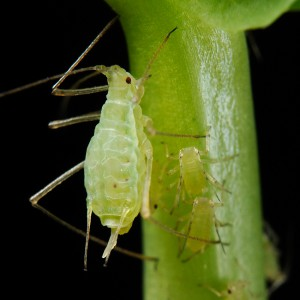 Aphids-garden-pest-and-pest-control