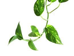 Pothos vines-interior plant scape
