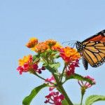 Butterfly on lantana- can-plants-survive-without-water