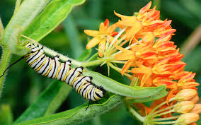Creating a butterfly garden- Caterpillar on flowers