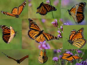 Creating a butterfly garden-Butterfly on flowering plants