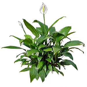 Peace lily-plants-that-helps-you-sleep-better