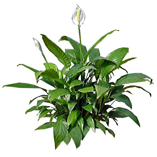 Peace Lily-plants-that-help-you-sleep-better