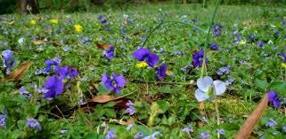 Flowering weeds-soil-solarization