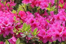 Pink garden flowering plant-flower-gardens
