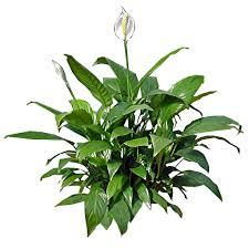 Peace lily-interior-plant-scape