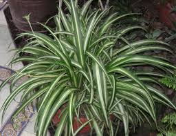 Hard To Kill House Plant-spider-plant