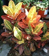 Croton-Indoor plants-cleaning-the-air-that-you-breath