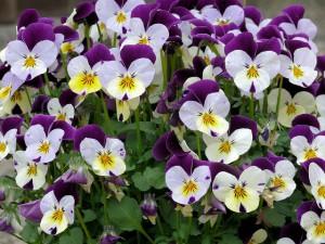 Creating a hummingbird garden-Petunia flowers
