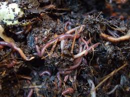 starting-a-compost-pile-worms