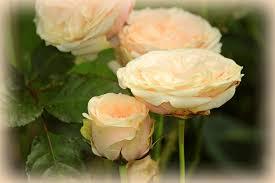 Yellow Roses-fragrant-flowers