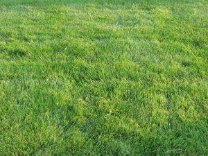 Zoysia grass-grasses