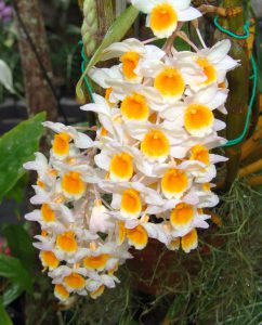 Yellow and white dendrobimus orchid-orchids-and-their-place-in-the-landscape