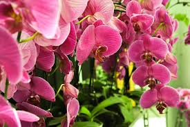 Purple Philodendron Orchids-orchids-and-their-place-in-the-landscape