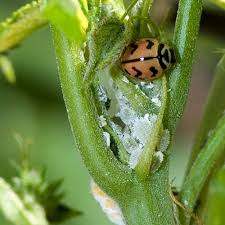 how-to-attract-beneficial-insects-to-control-garden-pest- Ladybug feeding on mealybugs