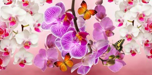 Butterflies resting on phalaenopsia orchids-orchids-and-their-place-in-the-landscape