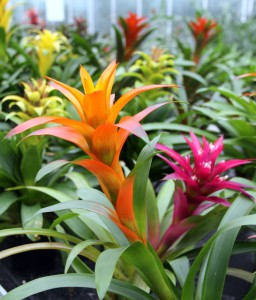 Guzmania garden plants-bromeliads-and-their-use