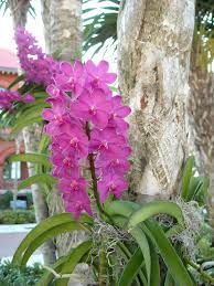 Purple dendrobiums orchids growing on tree-orchids-and-their-place-in-the-landscape