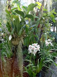 White dendrobium orchids growing on tree-orchids-and-their-place-in-the-landscape