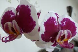 Purple and white Phalaenopsis-orchids-and-their-place-in-the-landscape
