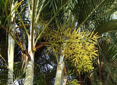 Areca Palm-areca-palm-care