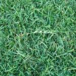 Centipede grass-turf-disease
